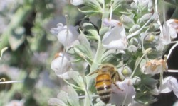 bee-in-sage-669x501